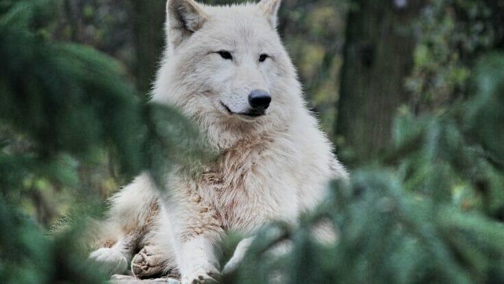 Leitura Espiritual - Os dois Lobos